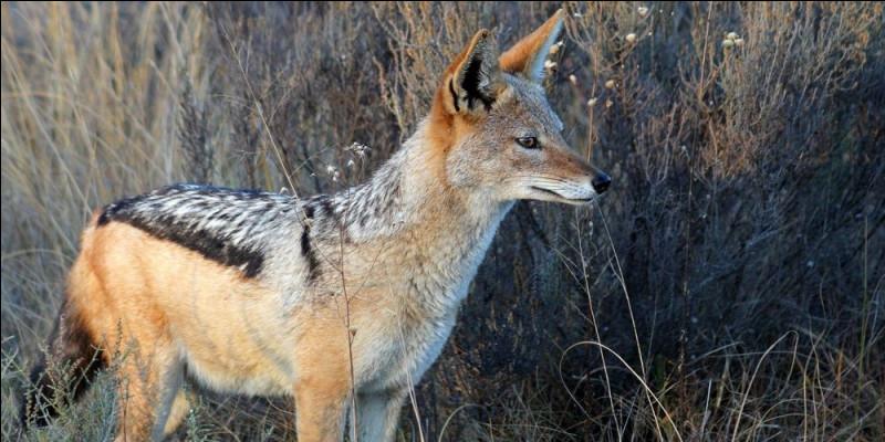 En France, on peut à présent voir des loups, mais ce qui est plus étonnant, c'est l'arrivée d'un canidé plus petit, que l'on est plus habitué à voir en Afrique ou en Asie !