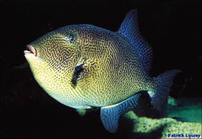 Il y a quelques dizaines d'années une nouvelle espèce de poissons est apparue sur la côte atlantique, le baliste, normalement il vit dans les mers sub-tropicales, mais le réchauffement climatique l'a fait bouger, pour le prendre, les pêcheurs de loisir utilisent un leurre (entre autres) plutôt curieux !
