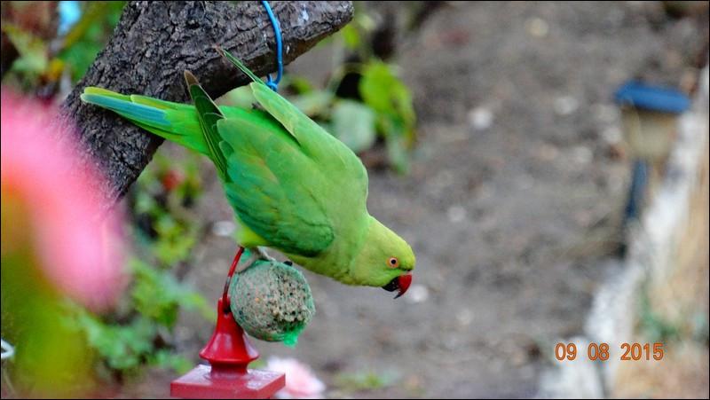 Plusieurs hypothèses ont été avancées, caisses brisées lors d'un déchargement à Orly, escapades de cages, moi, vu qu'on les trouve à présent un peu partout en Europe, je suggère que ces oiseaux sont arrivés tout seuls, tout simplement !