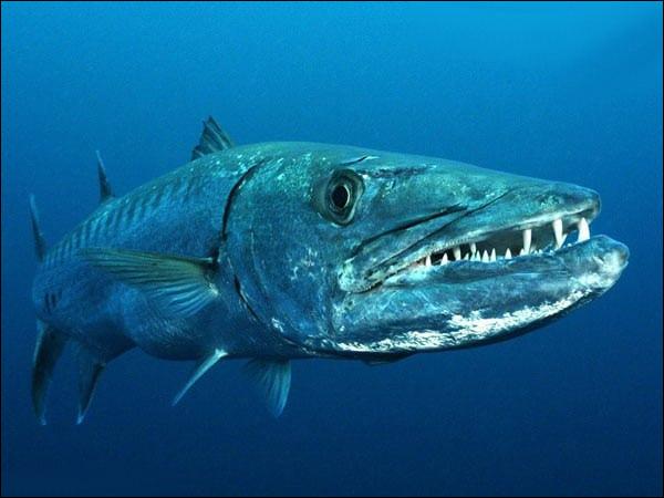 Fin des années 70, il était rare de voir ce poisson en Méditerranée, presque 50 ans plus tard, on peut à présent le pêcher sur pratiquement toute la côte méditerranéenne française !