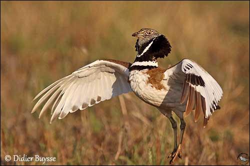 Lorsque j'étais enfant, il m'arrivait souvent d'apercevoir ce magnifique oiseau dans les grandes plaines céréalières, à présent, en apercevoir un seul relève du miracle !