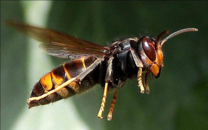 Comme si nos malheureuses abeilles n'avaient pas assez de problèmes, elle sont à présent confrontées à l'insecte de la photo !