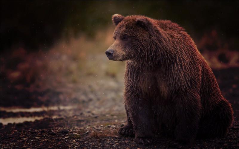 Quand un ours chasse, il se fie plus à sa vue qu'à son odorat.
