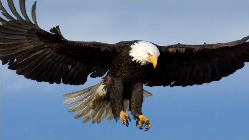 L'aigle est celui qui possède la meilleure vue, lointaine, parmi tous les oiseaux et autres animaux.