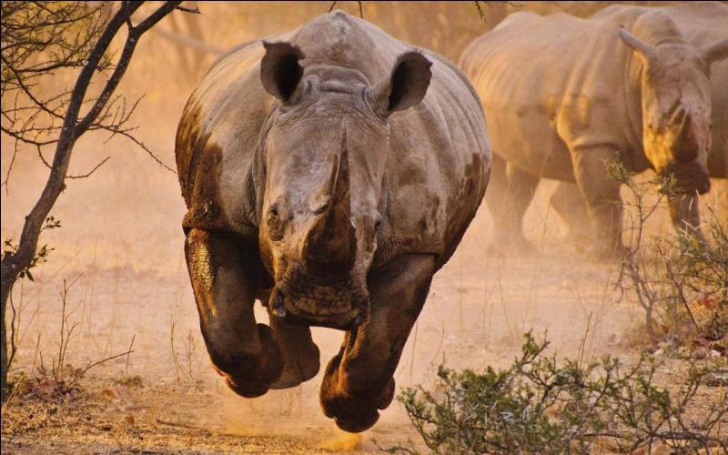 Les rhinocéros sont myopes. Cependant, quel sens leur permet de détecter les intrus ?