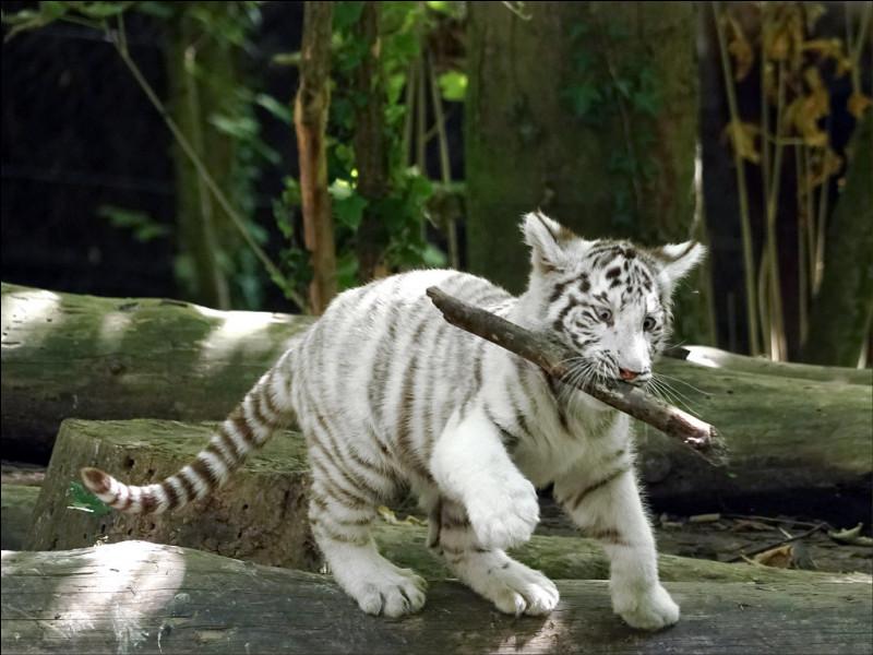 De quelle couleur est ce tigre ?
