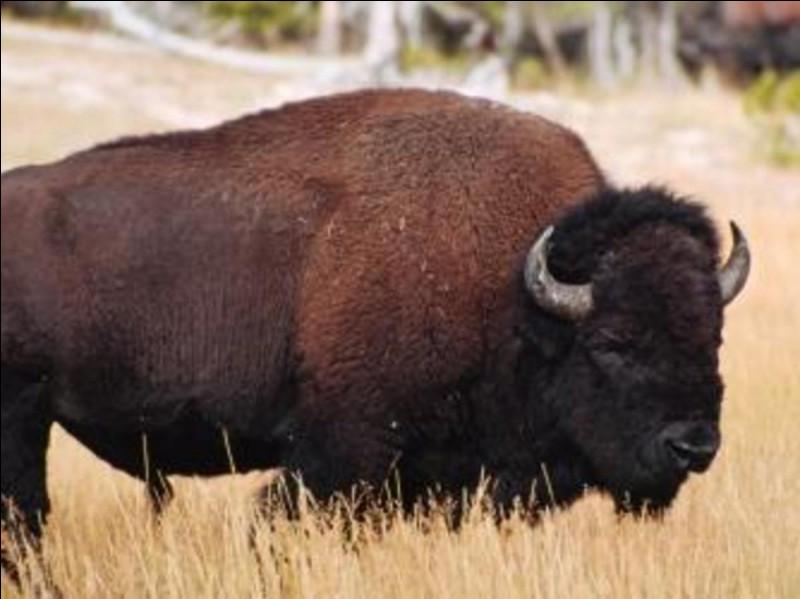 Où vit ce bison ?