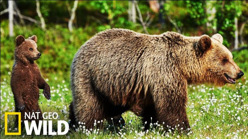 Quel est le petit de l'ours ?