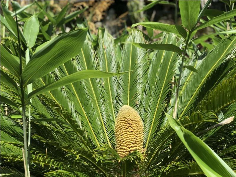 Quelle plante est considérée comme le premier anti-douleur ?