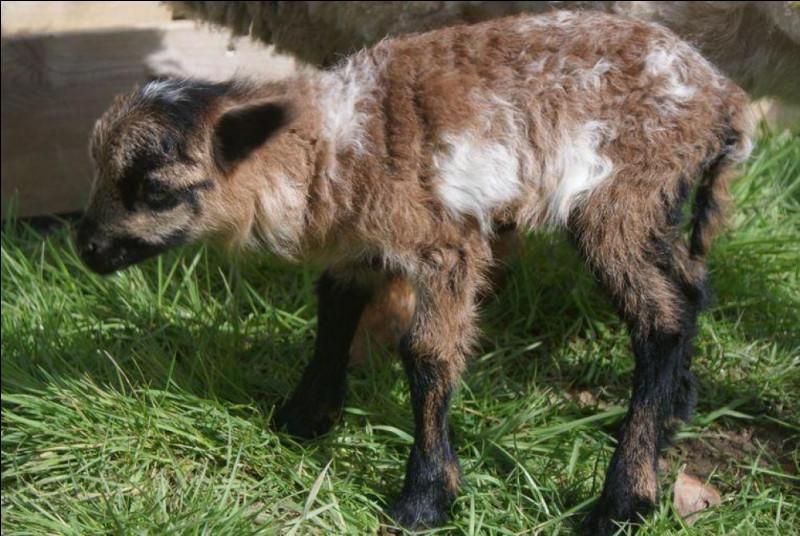 Le chabin est un croisement entre un bélier et une chèvre mais comment se nomme le petit issu du croisement d'un bouc et d'une brebis ?