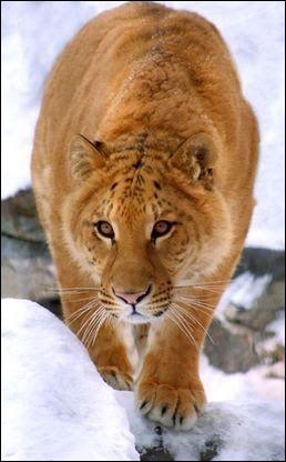 Le jaguatigre issu du croisement d'un jaguar et d'une tigresse, a déjà un nom et pourtant il n'existe pas (encore).Par contre, quel animal est issu du croisement d'un tigre et d'une femelle jaguar ?