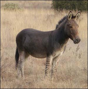 Bien que très rare, il peut être conçu de manière naturelle. On en voit notamment en Afrique du Sud. Le zébrâne est un hybride naturel entre un :