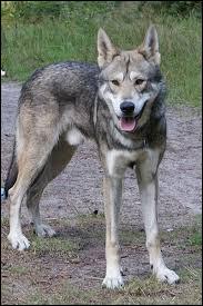 Le chien domestique et le loup sont deux sous-espèces de l'espèce Canis lupus, il n'y a donc pas de barrière de l'espèce et l'interfécondité est naturelle.Quand le papa est un chien et la mère une louve on le qualifiera de chien-loup mais comment l'appelle-t-on si c'est un loup qui féconde une chienne ?