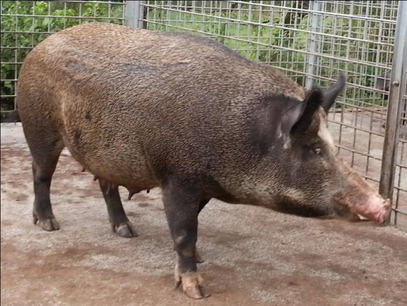 Malgré la différence du nombre de leurs chromosomes (19 paires pour le cochon contre 18 paires pour le sanglier) ils sont génétiquement et naturellement compatibles. Lesquels de ces qualificatifs ne désignent pas un animal issu du croisement de ces deux espèces ?