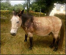Quels animaux sont engendrés par un étalon et une ânesse ?