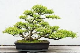"""Quelle est la traduction littérale du mot japonais """"bonsaï"""" ?"""