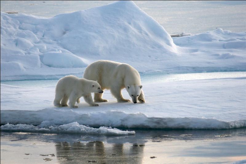 L'avenir, à mon avis n'est pas une fatalité pour l'humanité, c'est l'humanité qui le crée : si la fonte des glaces se poursuit au rythme actuel, quel est l'avenir pour l'ours blanc, dès le milieu du 21e siècle ?
