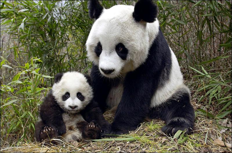 Qu'en est-il de l'avenir des pandas géants en Chine, des lycaons, des éléphants d'Afrique, suite à la dégradation de leur milieu naturel ?