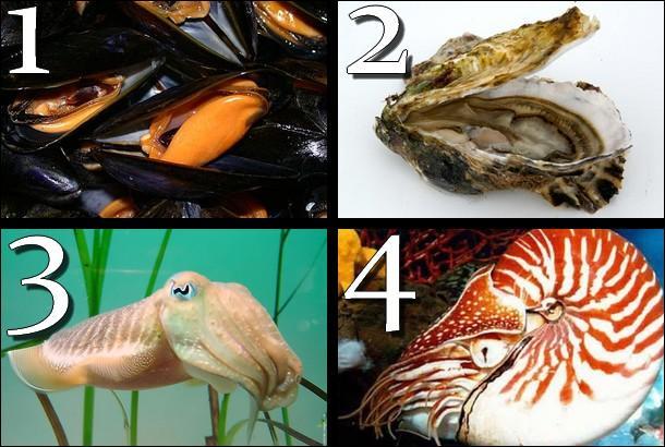 Laquelle de ces photos montre un 'nautile' ?