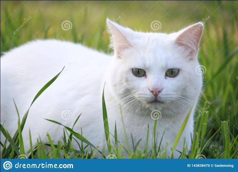 La plupart des chats blancs sont sourds.