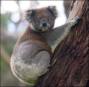 Les koalas dorment en moyenne combien d'heures par jour ?