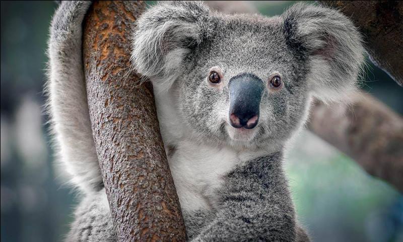 Le koala a-t-il une bonne vue ?