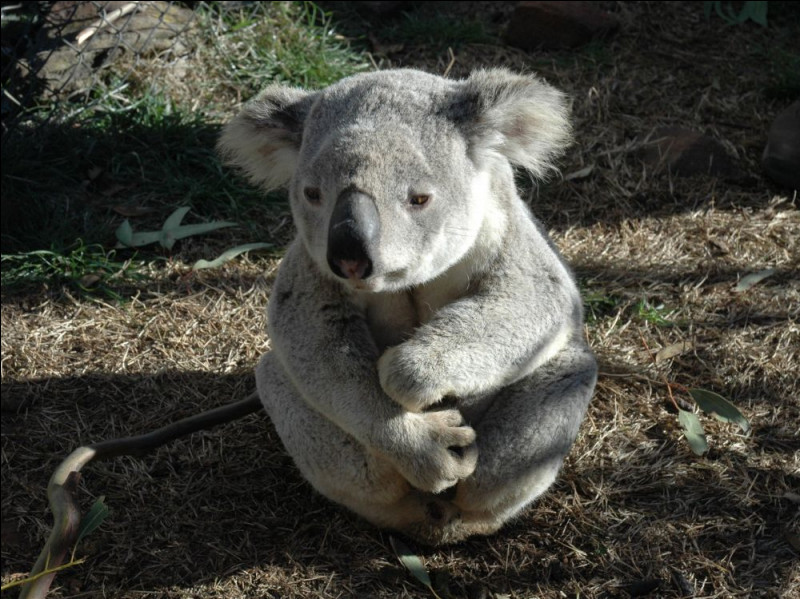 Combien d'heures et quand dort le koala ?