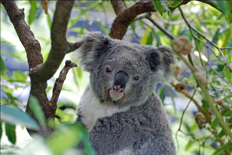 Pourquoi est-il souvent interdit de prendre un koala dans ses bras ?