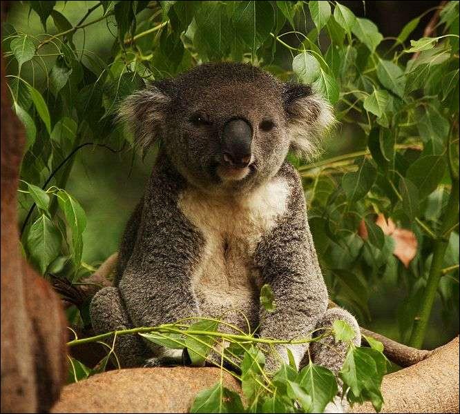 Que mange le koala ?