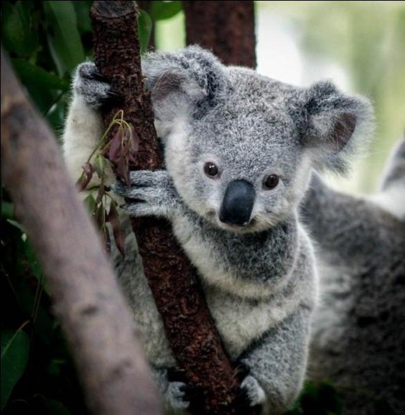 Où vit le koala ?
