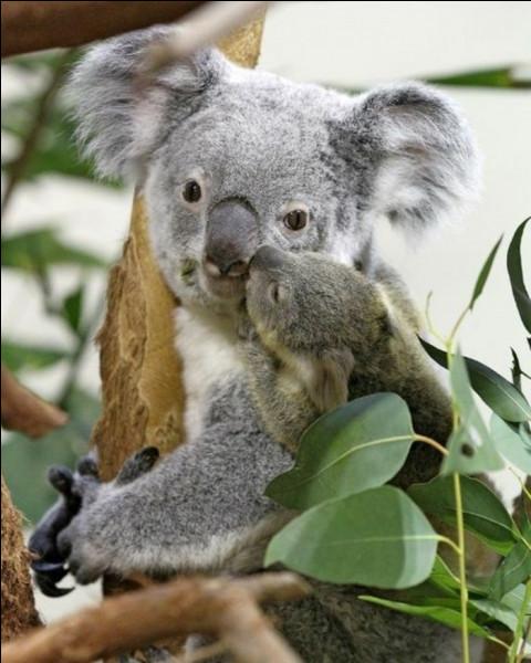 À quelle famille appartient le koala ?