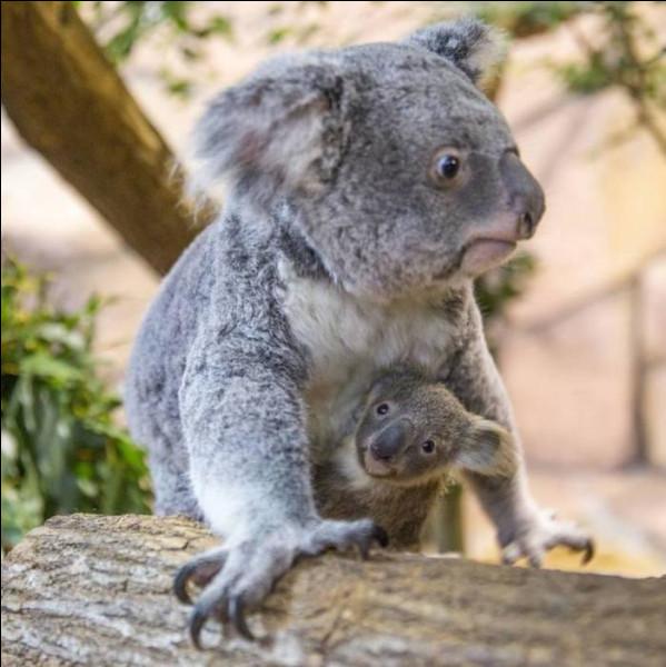Le koala est un animal :