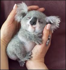 Comment appelle-t-on le bébé koala, dans son pays ?