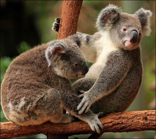 Quel nom porte le cri très fort des koalas, destiné à attirer les compagnes, pendant les périodes de reproduction ?