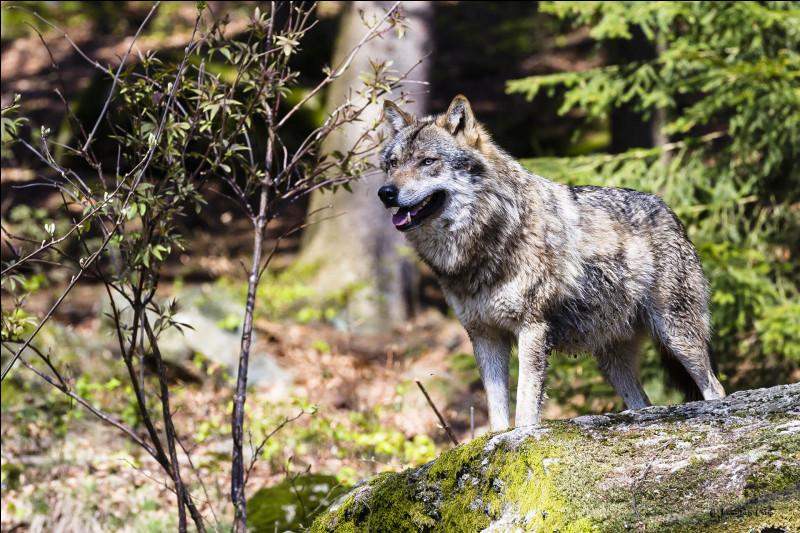 Le loup est réputé pour son flair. À quelle distance un loup gris peut-il détecter un animal contre le vent ?