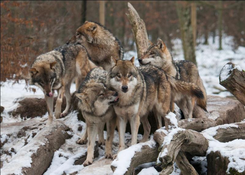 Les loups sont sociables et adoptent facilement un congénère qui vient rejoindre la meute :