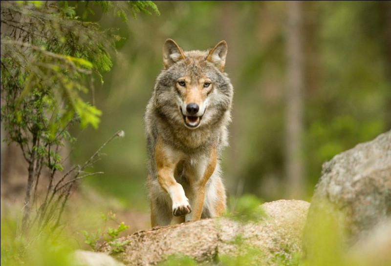 Plus rarement, certains loups incapables de trouver une partenaire, s'accouplent avec les filles du couple reproducteur, sans jamais créer aucun lien avec elles. Quel est le nom donné à ces loups ?