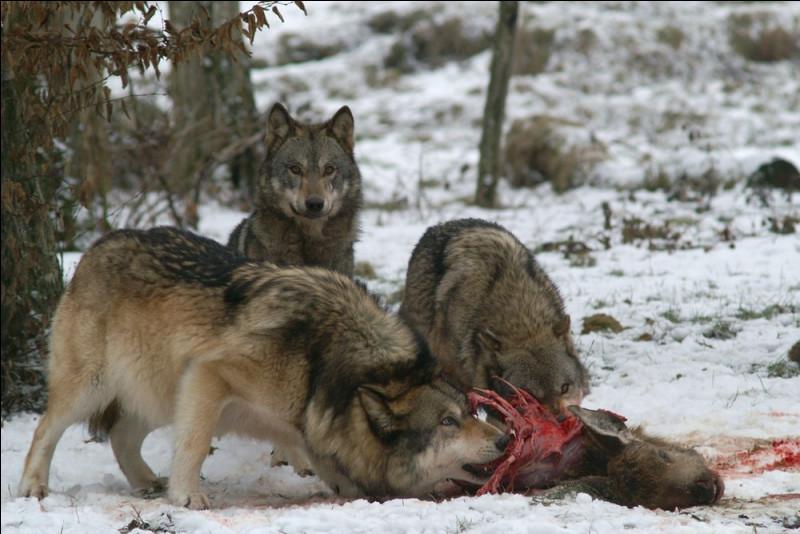Quand ils ont tué un élan ou un chevreuil, par quoi les loups commencent-ils leur repas ?