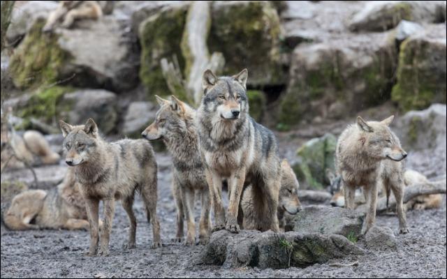 Où sont réapparus les premiers loups en France en 1992 ?