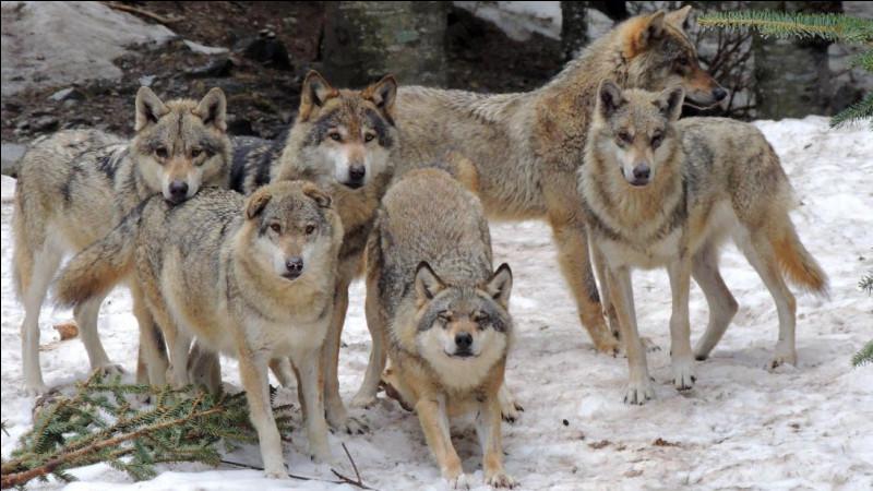 Combien compte-t-on, environ, de loups en France, recensés en 2019 ?