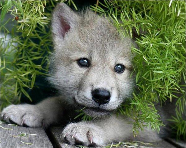 Comment se nomme le bébé loup ?