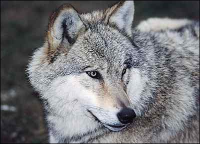 Le loup, en France, est considéré comme :