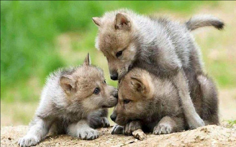 """À quel âge les bébés loups quittent-ils leur """"abri"""" ?"""