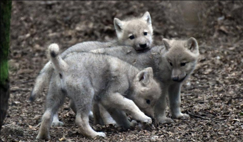 À partir de quel âge les bébés loups commencent-ils à jouer au combat ?