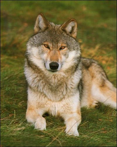 Comment est décrit le loup agressif ?