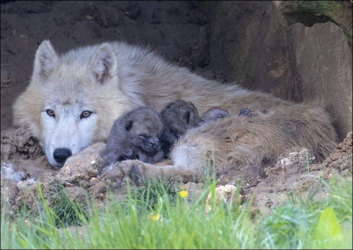 Quand la louve met bas, de combien de petits est en moyenne la portée ?