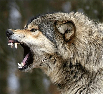 Combien faut-il de morsures d'un loup gris pour tuer un cerf en bonne santé ?