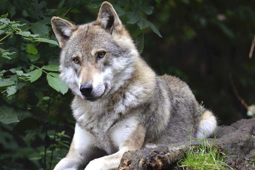 Quiz ciblé sur le loup gris