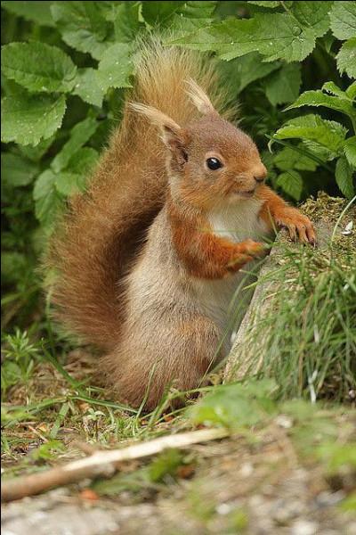 Dans quoi vit l'écureuil, notamment en hiver ?