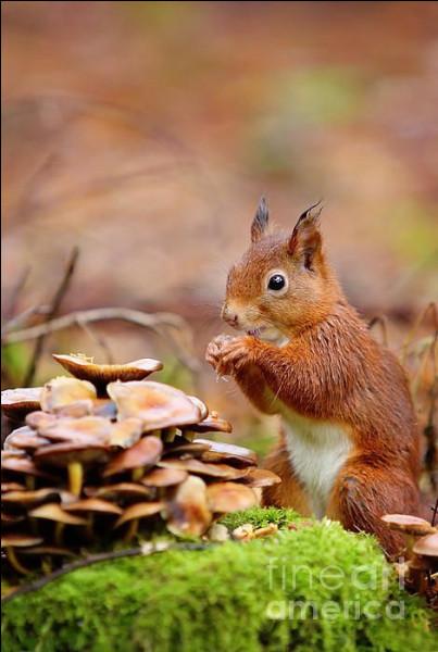 L'écureuil mange aussi des champignons. Qu'arrive-t-il s'il consomme des champignons toxiques ou mortels pour l'homme ?